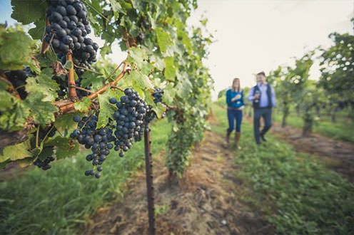 Grapes on vines in vinyard with two people walking in background