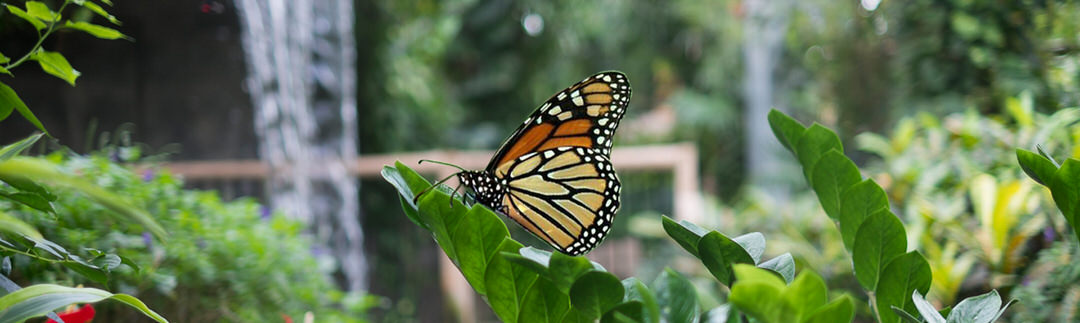 Close up of a Monarch butterfly resting on a leafy branch at the Cambridge Butterfly Conservatory