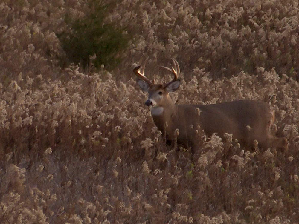 A deer camouflaged in a field of tall grass