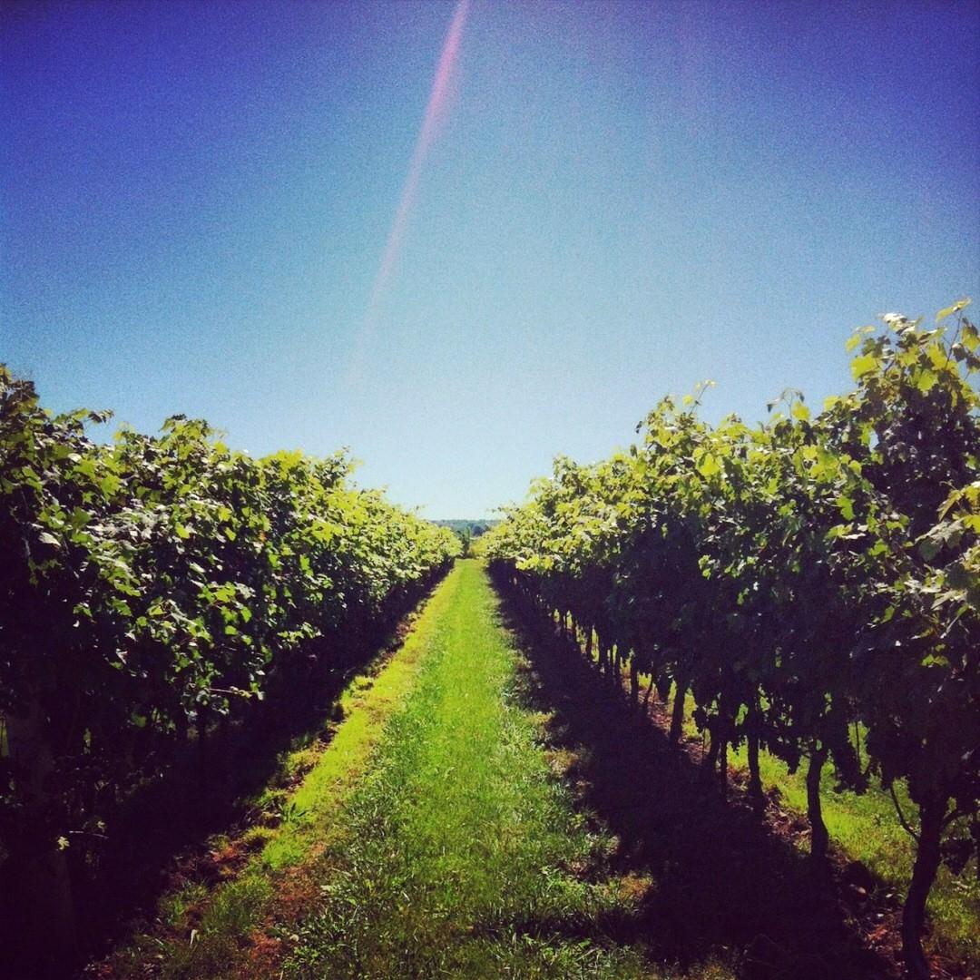 Deux rangées de vignes bordent un sentier herbeux