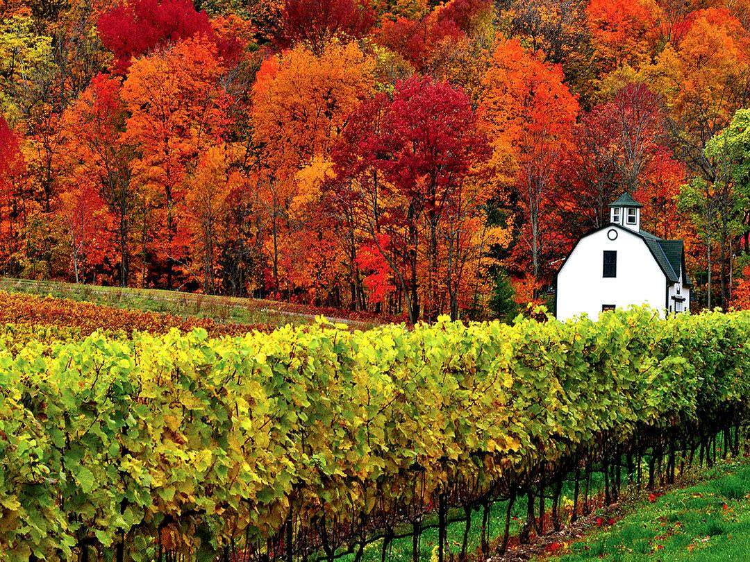Un feuillage d'automne spectaculaire et des vignobles d'un vert profond entourent un bâtiment blanc