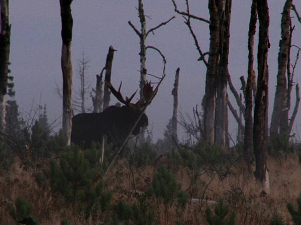A male moose standing in a field