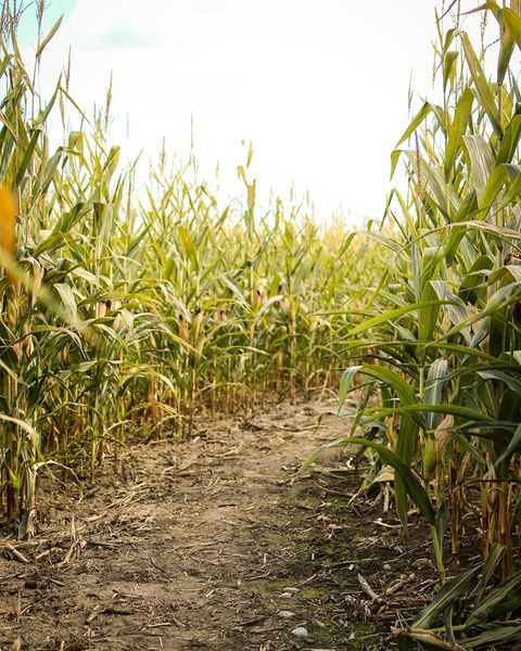 Pathway to the the maze of a cornfield