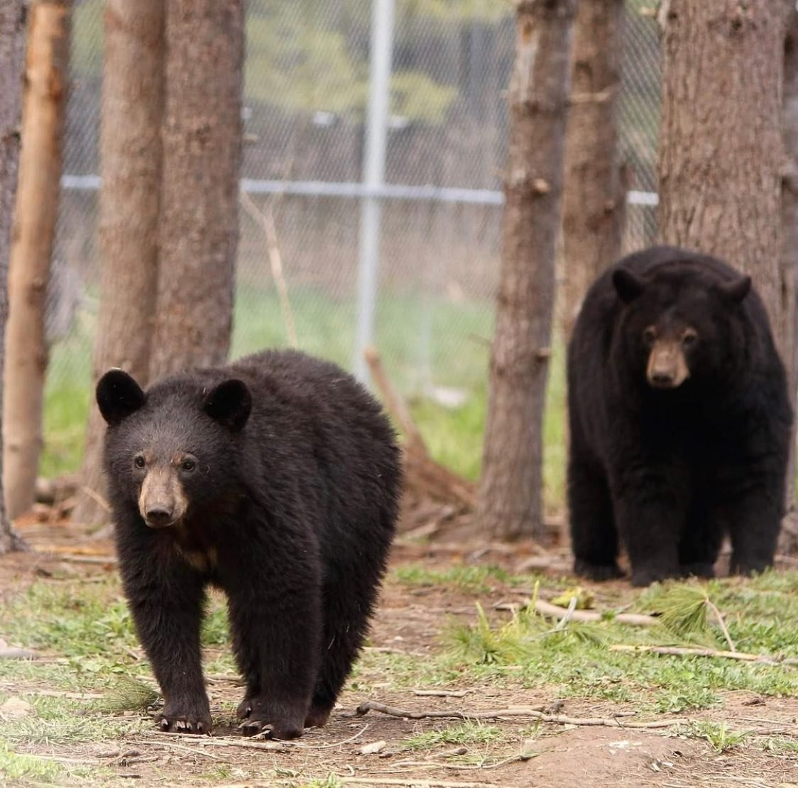 A bear cub walking in front of a mama bear through a wooden fenced in area