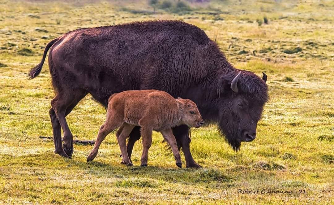 A baby Bison beside Mama Bison munching on grass in a field