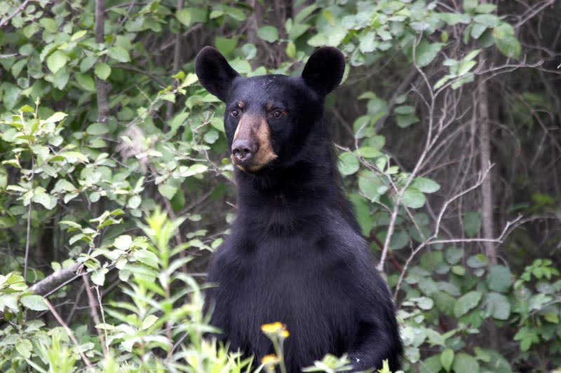 A black bear props up his head from amongst the trees