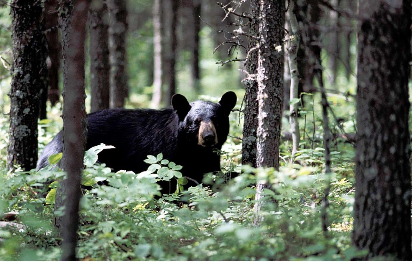 A black bear walking in between tall trees