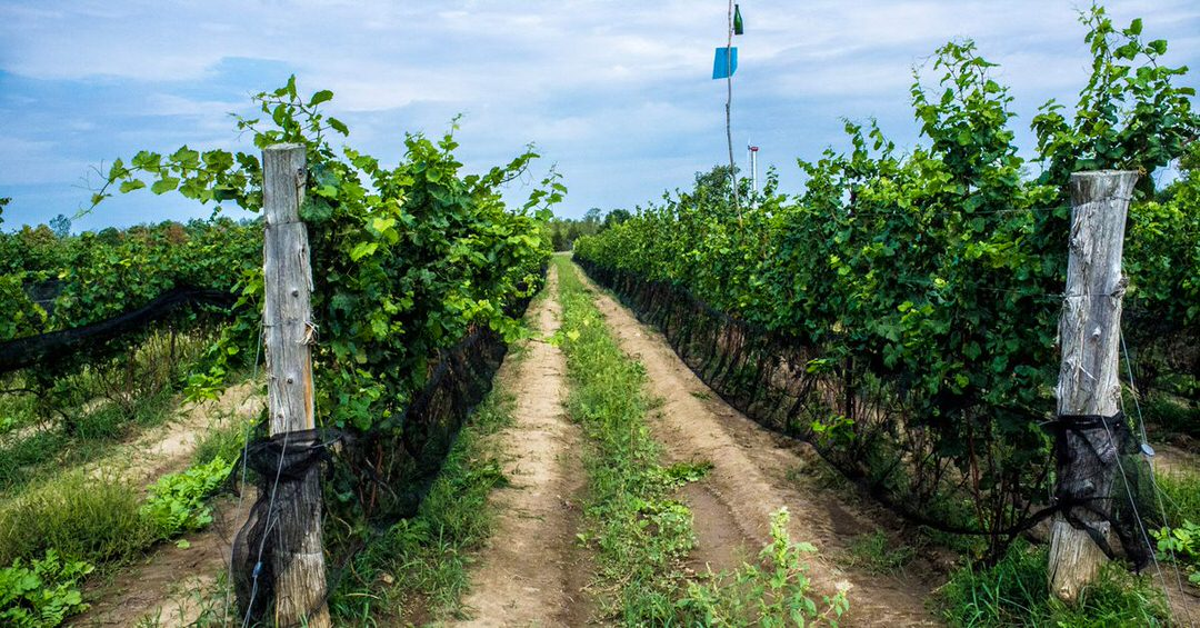 Rows of grape vines line the vineyard with harvest tracks between each row.