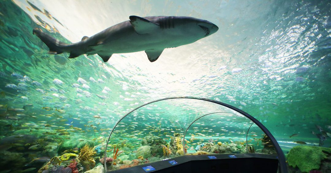 A shark swims by through a clear bridge where people can walk underneath.