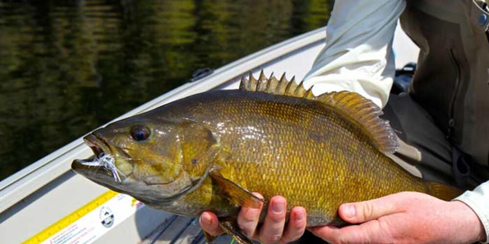 A fisherman in a boat holds a bass fish