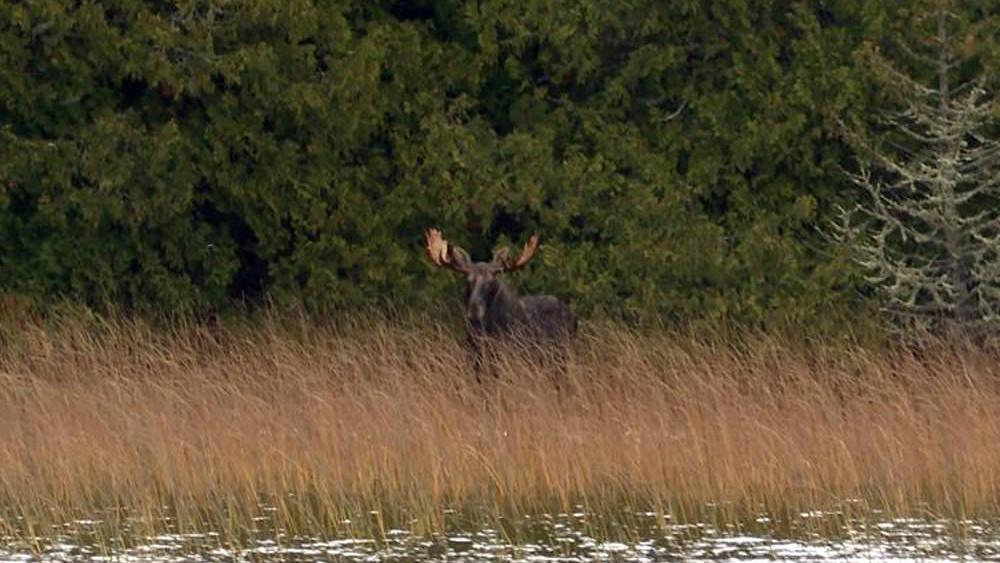 A moose walks through tall grass in front of lush forest