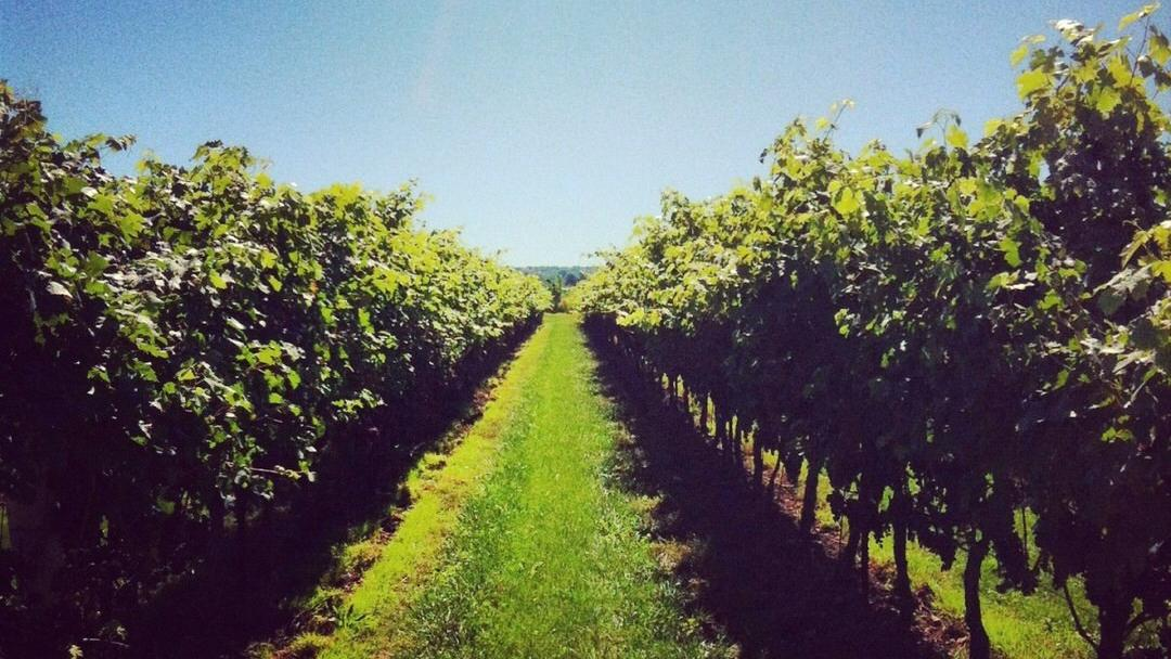 Two rows of grape vines line a grassy pathway