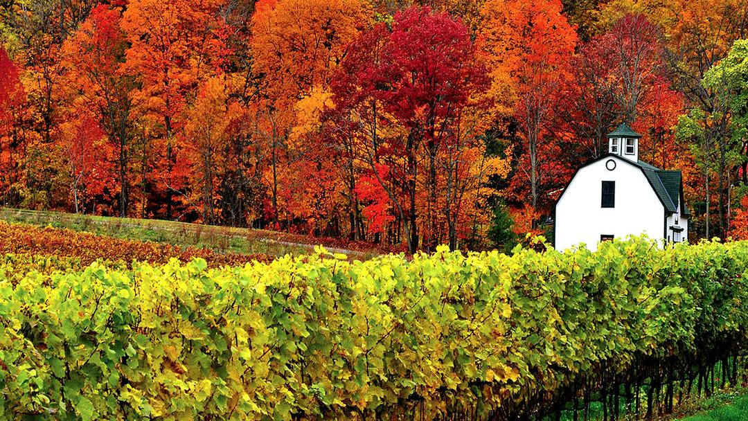Dramatic fall foliage and deep green vineyards surround a white building