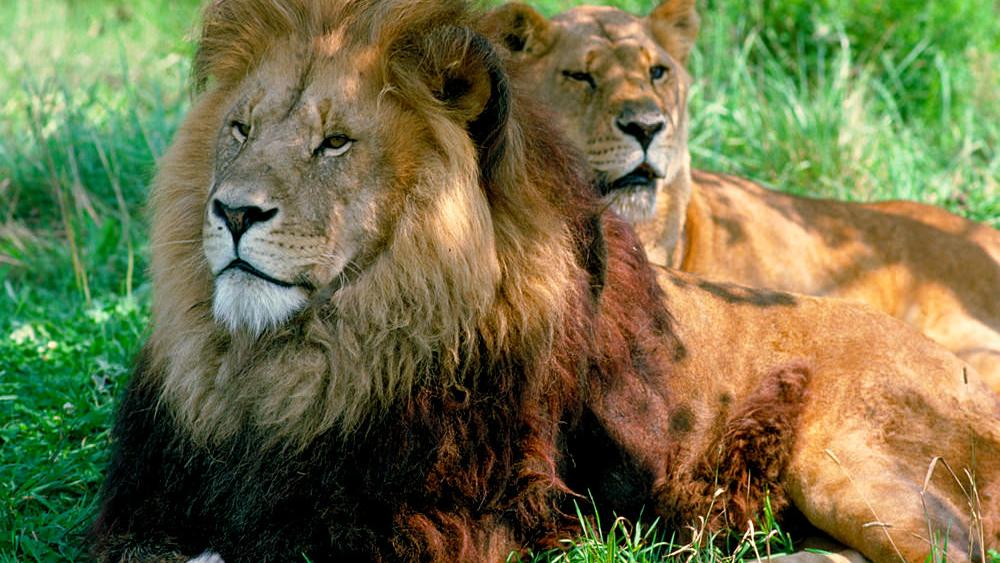A majestic pair of male and female lions lie in the grass