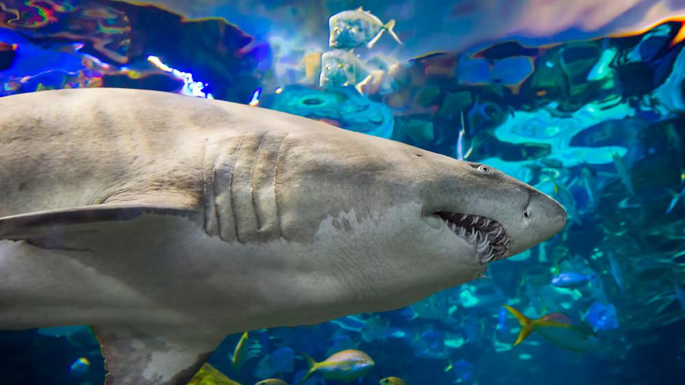 Close up view of a shark swimming by in a large underwater tank