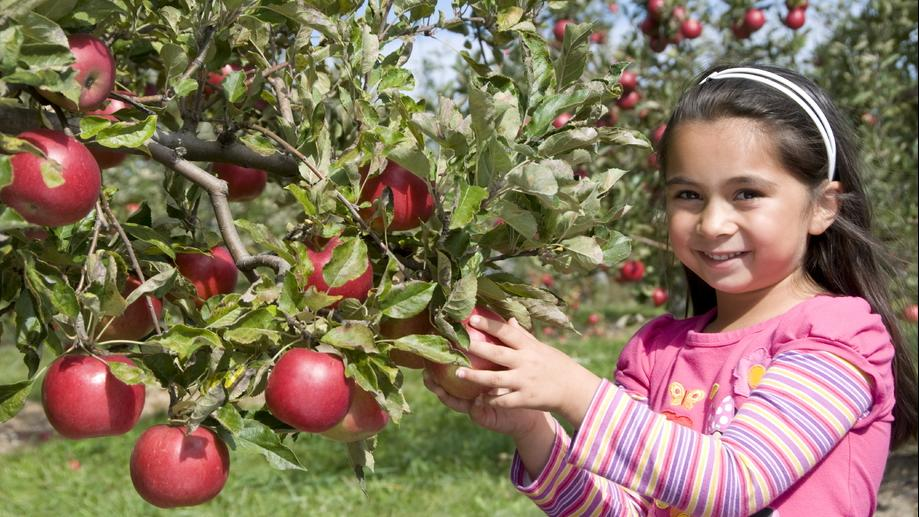 A little girl smiling and picking an apple from a tree