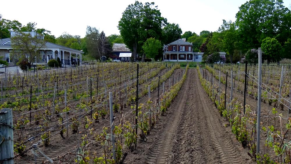 Rows of recently planted vines lead towards a stately house
