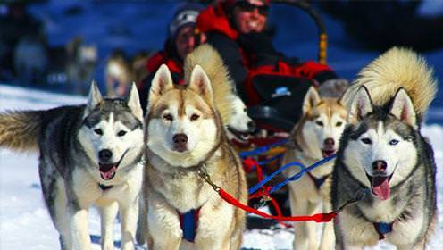 A team of dogs hauls a sled through the snow