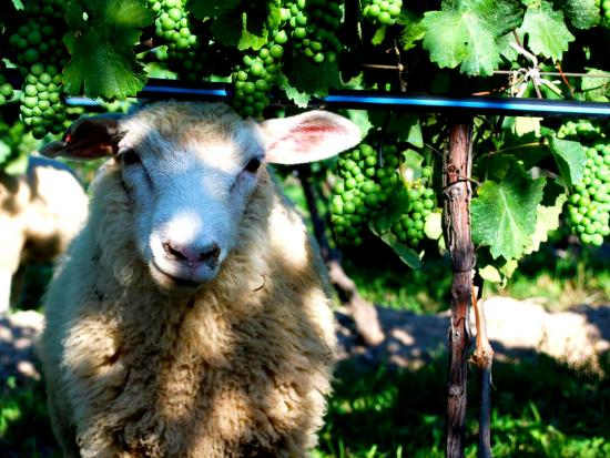 A sheep wanders in the vines at a winery