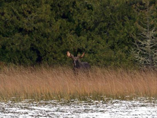 Un orignal marche dans les hautes herbes devant une forêt luxuriante