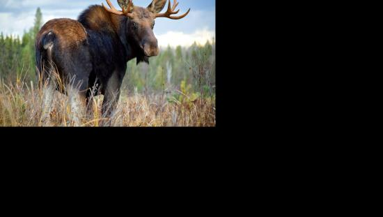 A magnificent bull moose stops to look back over his shoulder