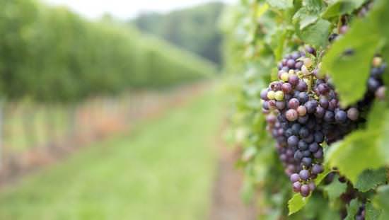 Une image en gros plan d'une grappe de raisin dans un vignoble