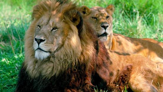 Une paire majestueuse de lions mâles et femelles se trouvent dans l'herbe
