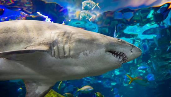 Vue rapprochée d'un requin nageant dans un grand réservoir sous-marin