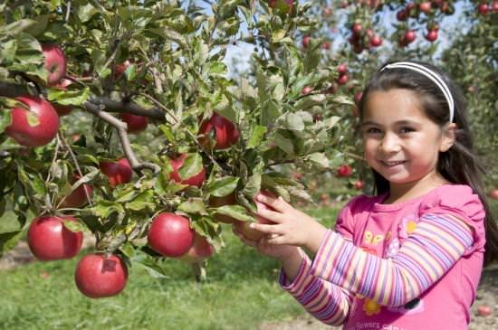 Une petite fille souriante et cueillant une pomme dans un arbre