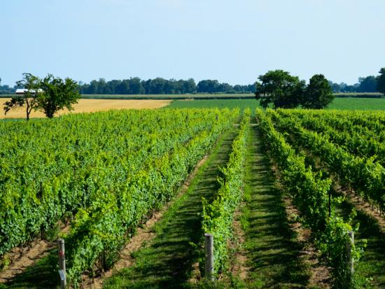 Rows and rows of lush green vineyards