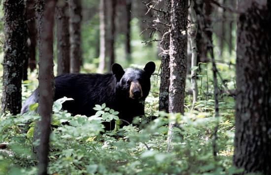 Un ours noir marchant entre de grands arbres
