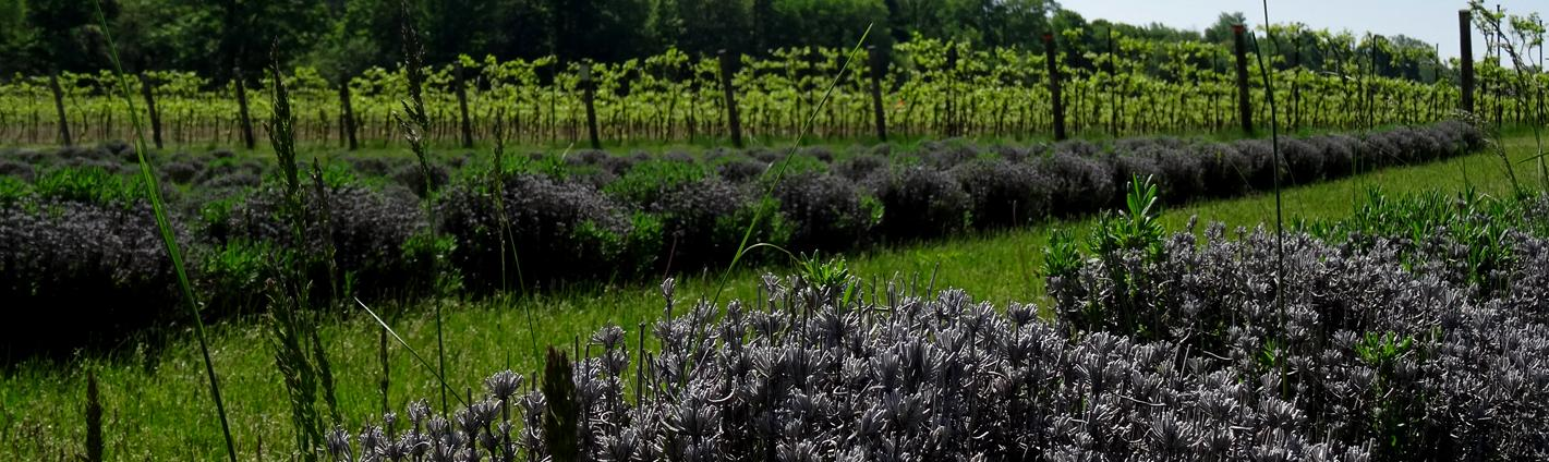 Fields of blooming lavender next to rows of vines in a vineyard